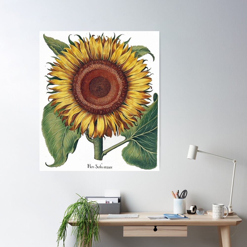 Amazingly detailed sunflower image,1613 by Besler Poster
