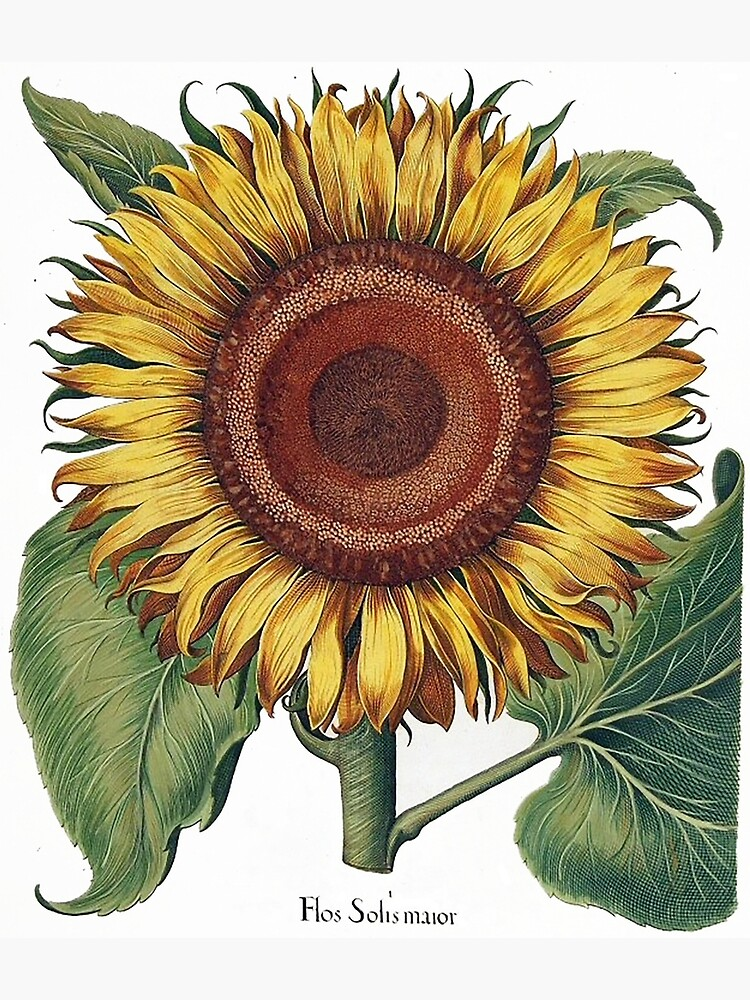 Amazingly detailed sunflower image,1613 by Besler by edsimoneit