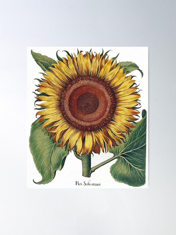 Alternate view of Amazingly detailed sunflower image,1613 by Besler Poster