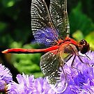 Red Dragonfly on Violet Purple Flowers by taiche