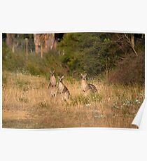Trio of Posing Kangaroos Poster