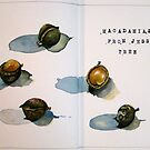 Macadamias from Jesse's Tree by Evelyn Bach