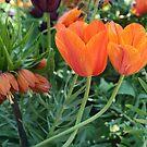 Couple of orange tulips by Aase
