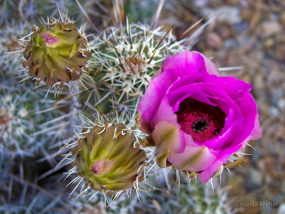 Buds and Bloom of the Hedghog Cactus by Lucinda Walter