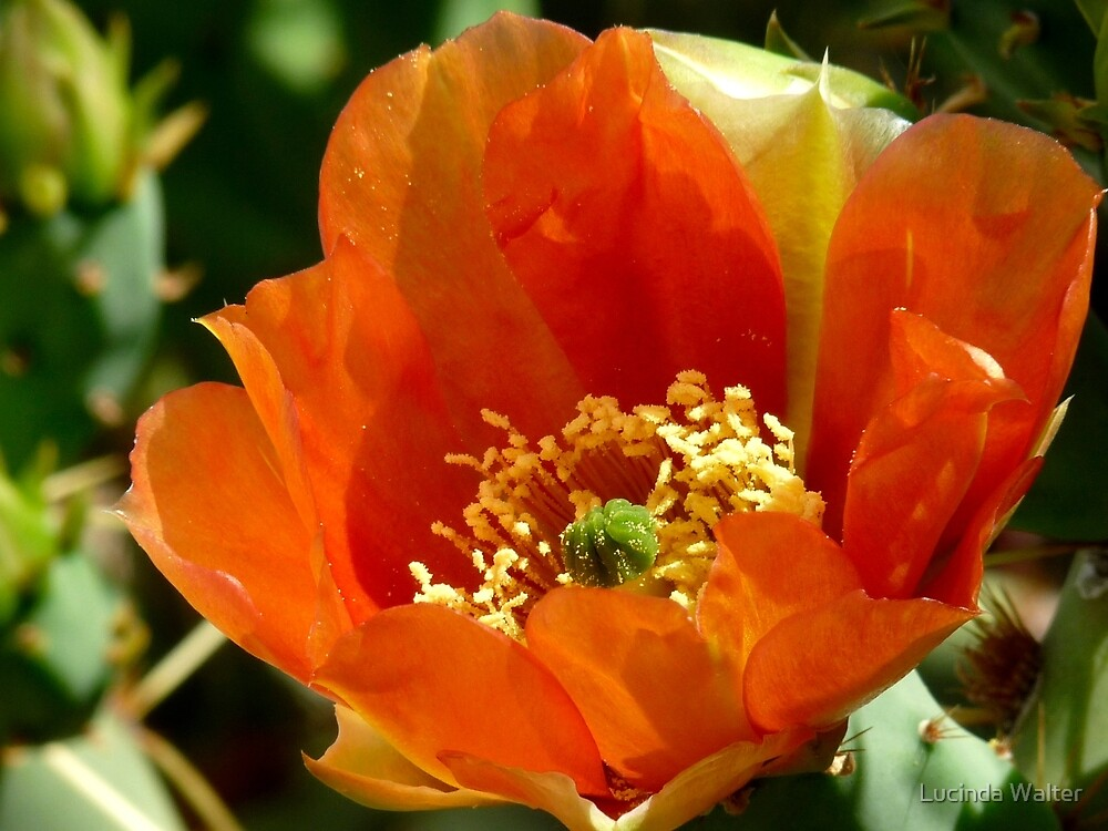 Prickly Pear Cactus in Bloom by Lucinda Walter