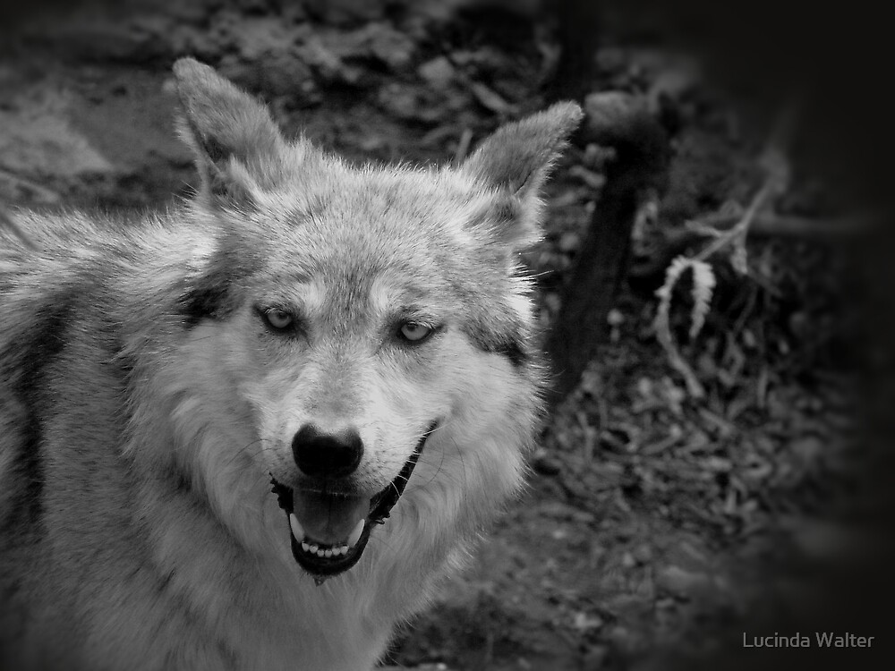 Mexican Wolf by Lucinda Walter