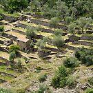 Olivenhain, Ligurien by Erwin G. Kotzab
