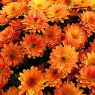Mini Chrysanthemums by Simon Duckworth