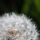 Dandelion by ANDIBLAIR