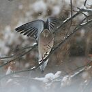 Winter Dove by little1sandra