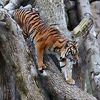 Sumatran Tiger by Sheila Smith