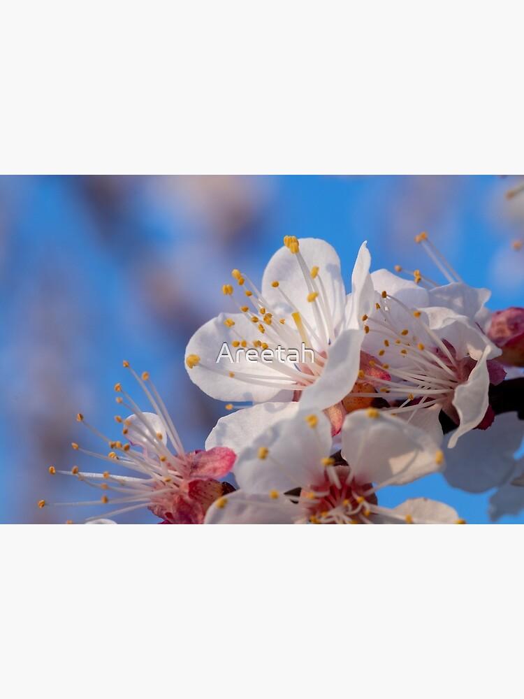 Kirschblüte im Abendlicht von Areetah