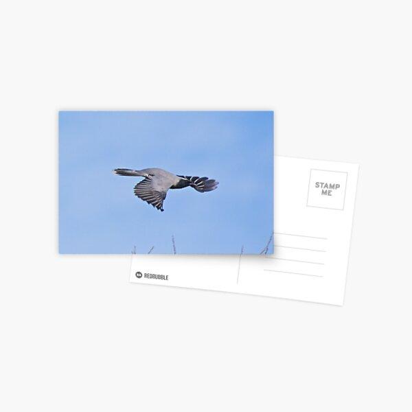 CUCKOOSHRIKE ~ Black-faced Cuckooshrike FHEYYUMR by David Irwin Postcard