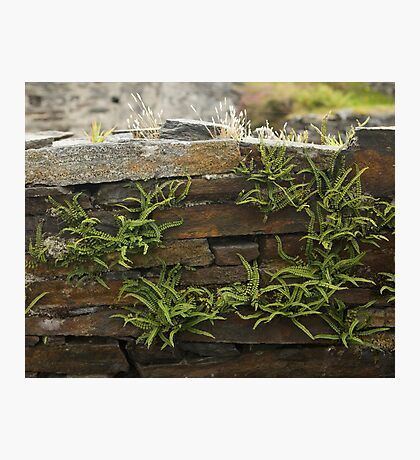 Spleenwort Maidenhair fern on wall at Cashelnagor Photographic Print