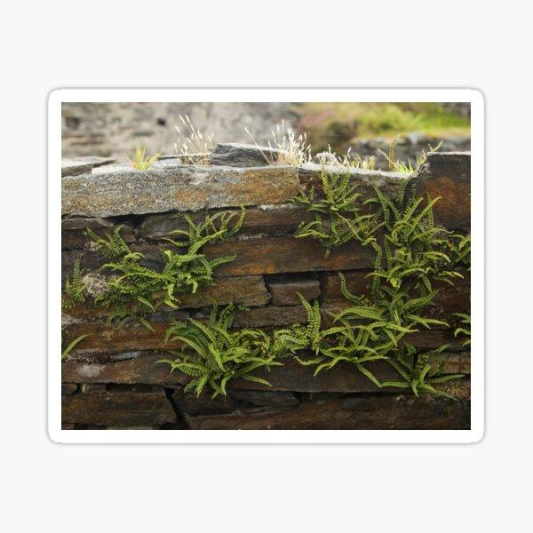 Spleenwort Maidenhair fern on wall at Cashelnagor Sticker