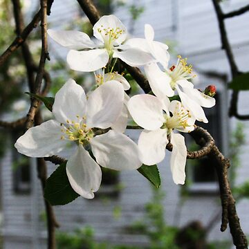 Apple Blossom - Branches and Buds by OshustArt