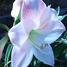Pink Amaryllis by BrandyHouse