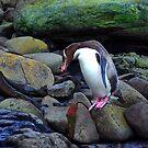 Yellow - eyed Penguin    New Zealand by Imi Koetz