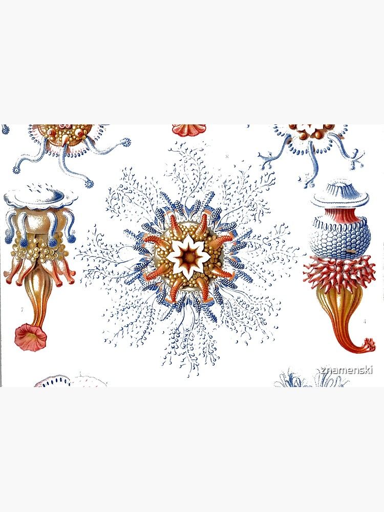 Haeckel Siphonophorae. Siphonophorae is an order of Hydrozoans, a class of marine organisms belonging to the phylum Cnidaria by znamenski