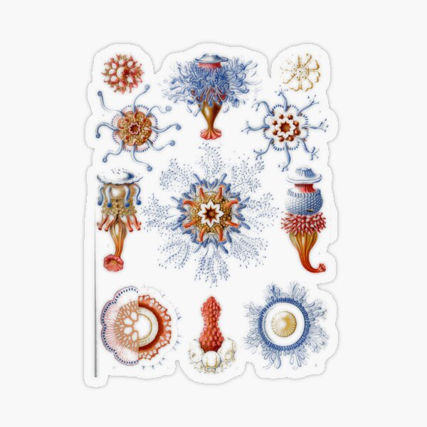 Haeckel Siphonophorae. Siphonophorae is an order of Hydrozoans, a class of marine organisms belonging to the phylum Cnidaria Transparent Sticker