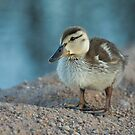 Spring Duckling by Sue  Cullumber