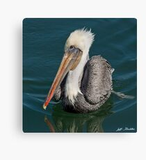 Brown Pelican With White Head Plumage Canvas Print