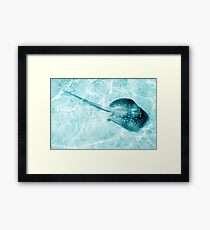 Blue Spotted Ray Framed Print