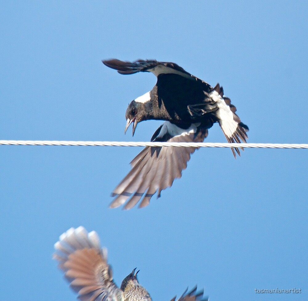 Australian Magpie and Little Wattlebird by David Irwin by tasmanianartist