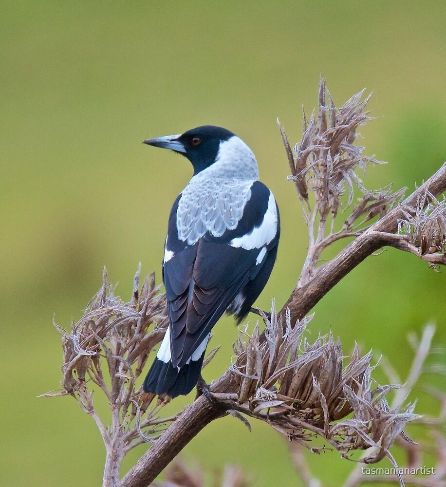 Australian Magpie (tyrannica) by David Irwin by tasmanianartist