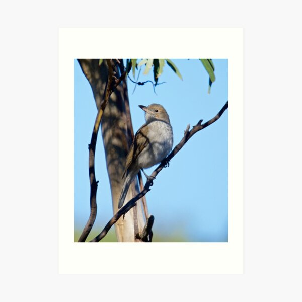 Grey Shrikethrush by David Irwin ~ WO Art Print