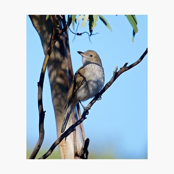 SHRIKETHRUSH ~ Grey Shrikethrush 85389YEW by David Irwin ~ WO Photographic Print