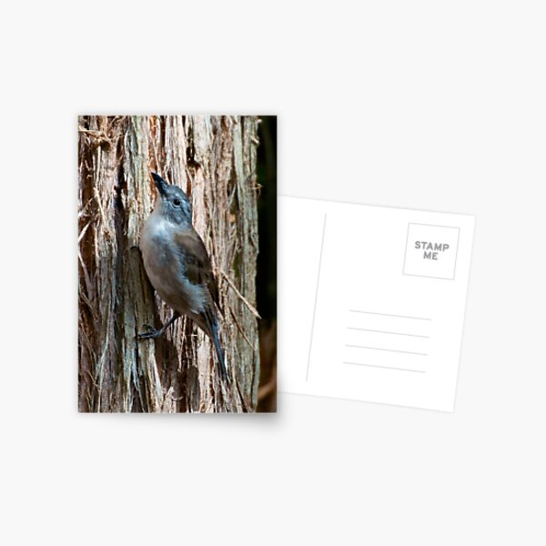 Grey Shrikethrush by David Irwin Postcard
