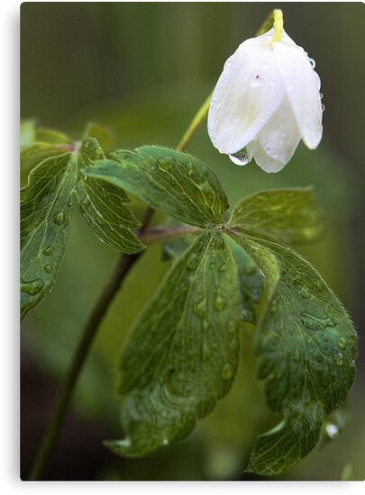 Wildflower -  After The Spring Rain by T.J. Martin