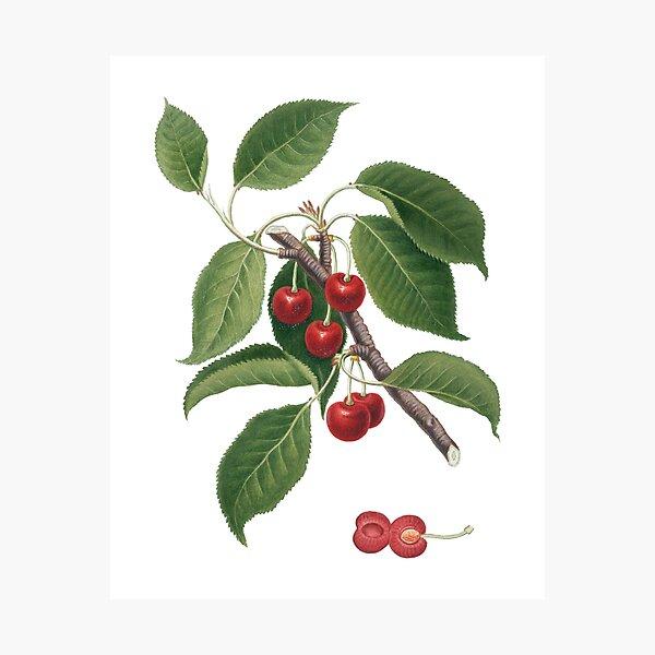 Sour Cherry (Cerasus Cordiformis Duracina) Photographic Print