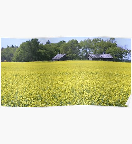 Two old dilapidated farm buildings standing on the edge of a field of canola in bloom on a sunny day in July. Poster
