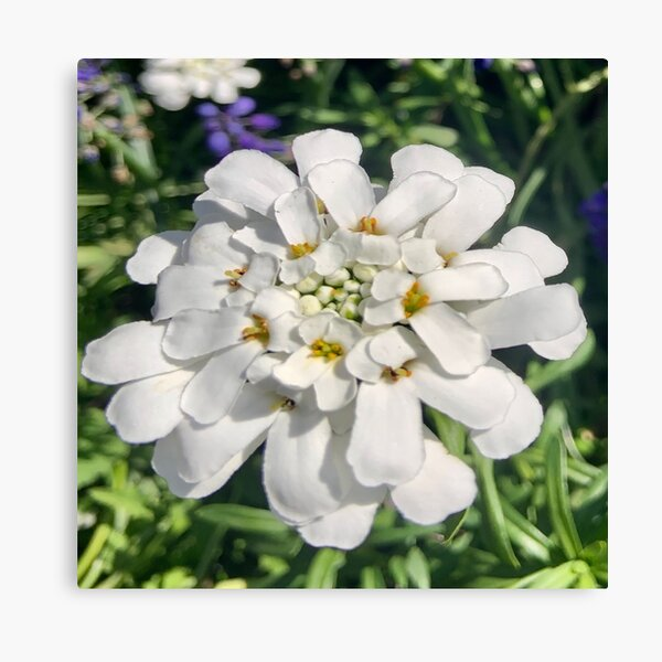 Candytuft Front and Center Canvas Print