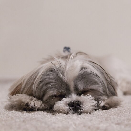 Resultado de imagen para shih tzu sleeping
