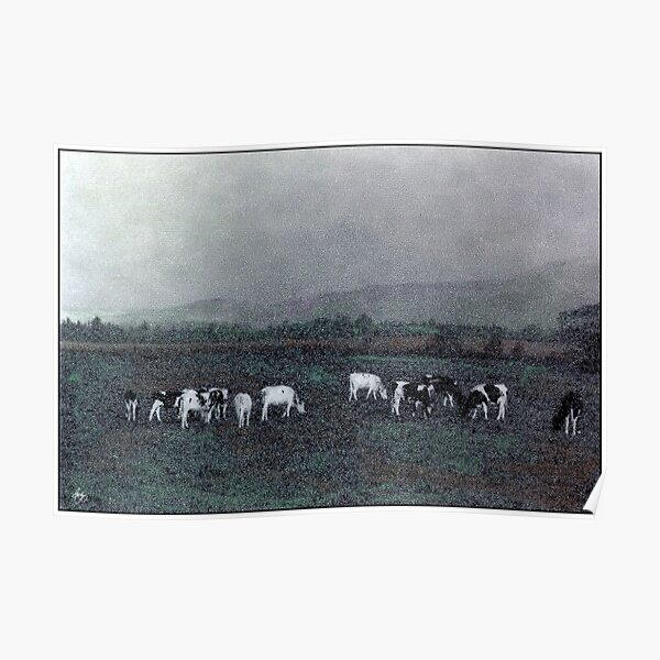 Longview Cows Poster