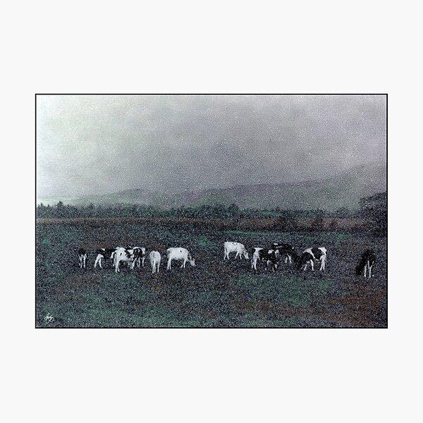 Longview Cows Photographic Print