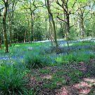 Bluebell Woods in May by John Dalkin