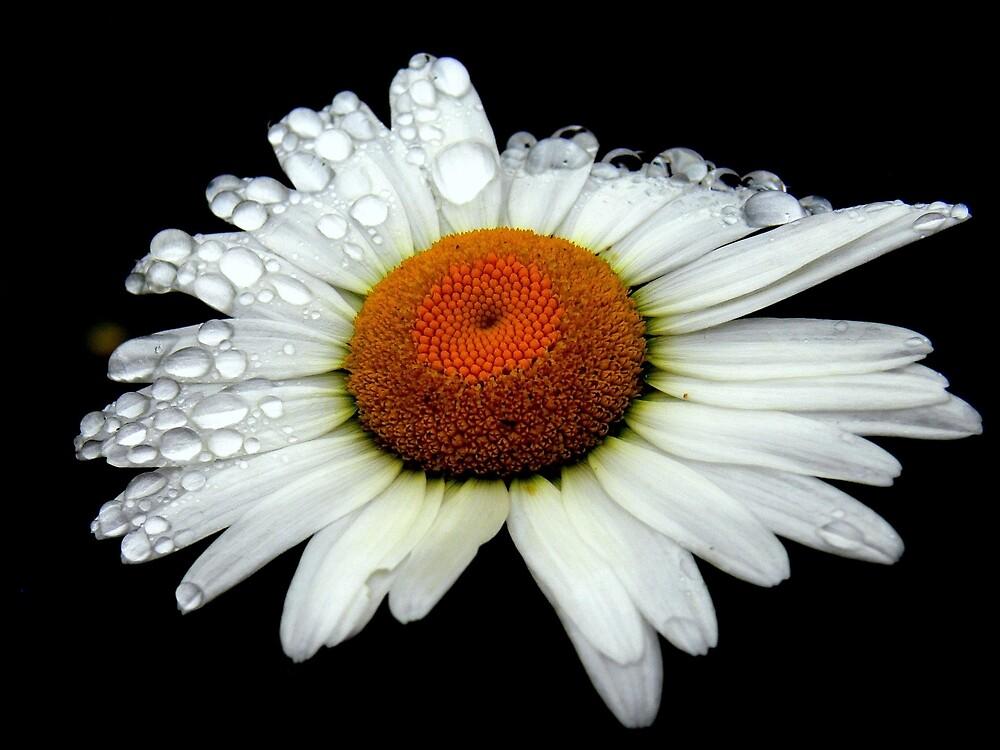 A Simple White Daisy  by LjMaxx