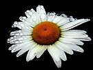 A Simple White Daisy  by LjMaxx