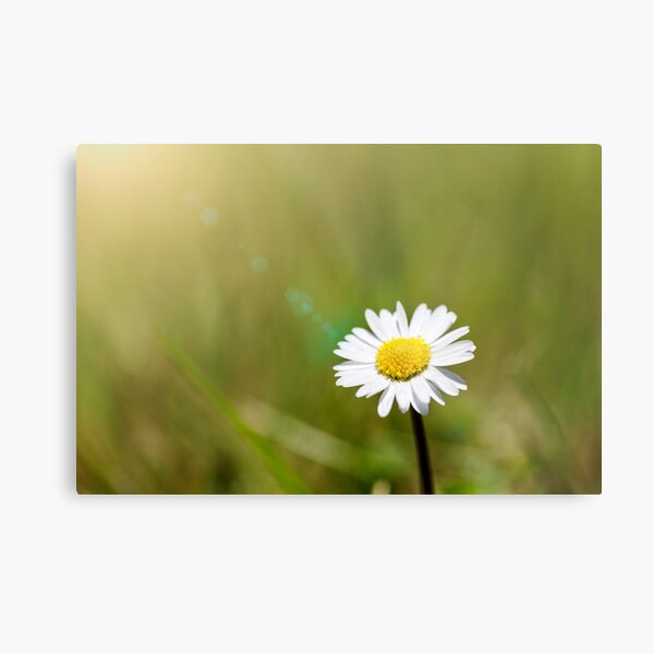 Lonely daisy Metal Print