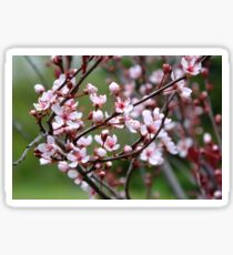 Plum Blossoms. Sticker