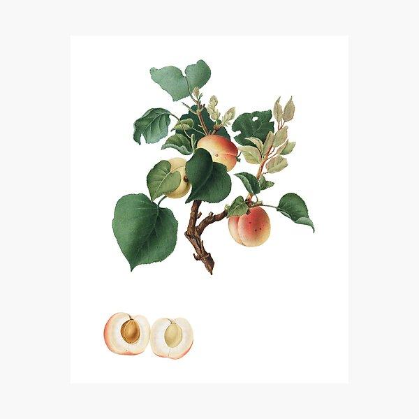 Apricot (Alessandrina Seconda) Photographic Print