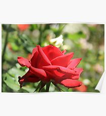 Red Rose at Queen Elizabeth Park, Print, framed print or canvas Poster