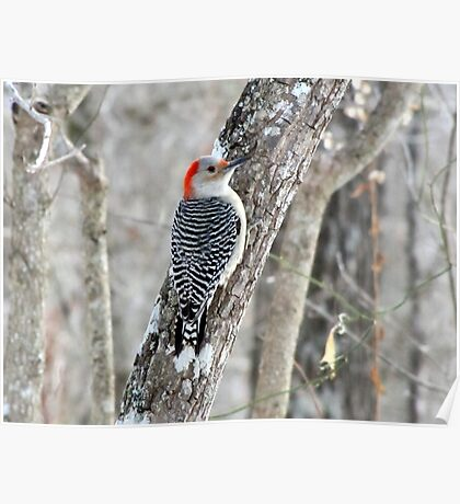 Red-bellied Woodpecker in the Forest Poster