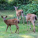 Curious Fawn... deer by RichImage