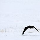 Raven in the Snow by Alyce Taylor