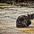Tortoiseshell Cat  by Vicki Field
